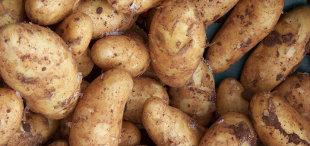Pommes de terre et OGM
