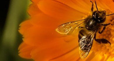 Pesticides et monocultures : il manque 7 milliards d'abeilles en Europe