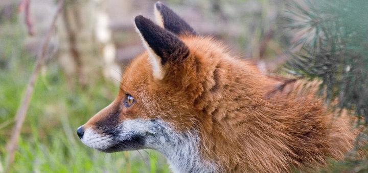 Manifestation et pétition contre la Ch'tis fox day