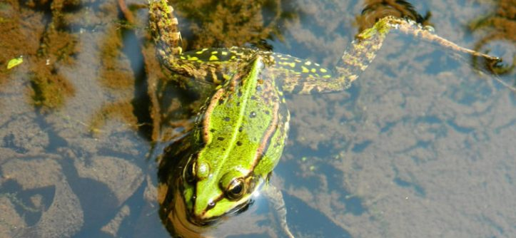 grenouille dans une mare