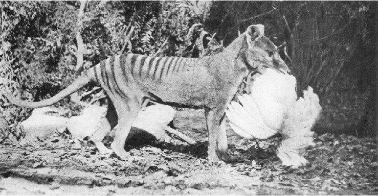 Une poule sert de festin à ce tigre de Tasmanie