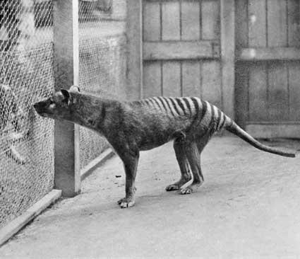 Le dernier spécimen de loup de Tasmanie pris en photo au Zoo de Hobart en 1933 - Source : Wikipédia