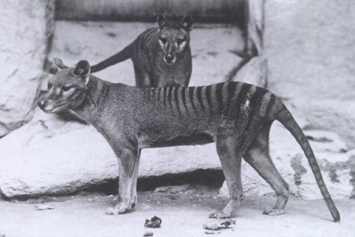 Loups de Tasmanie - Source : Wikipédia