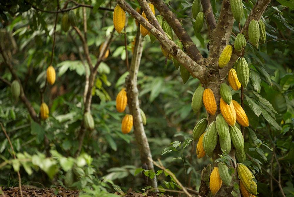 Forestera: du cacao équitable pour lutter contre la déforestation