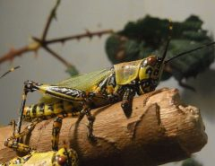 Invasion de criquets pelerins en Afrique de l'Est
